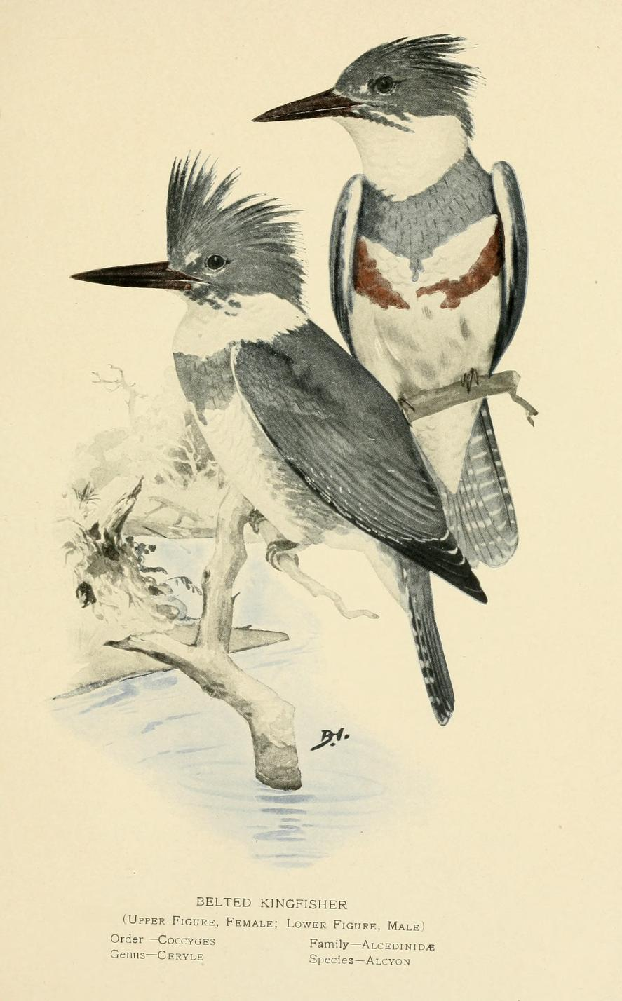 Two birds, a male and female belted kingfisher perched on a branch over water